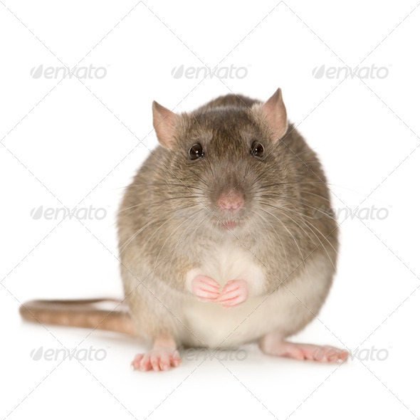 Rat (6 months) - Stock Photo - Images