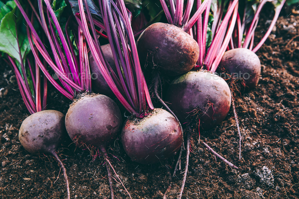 Fresh beets. Harvest fresh organic beet on the ground. - Stock Photo - Images