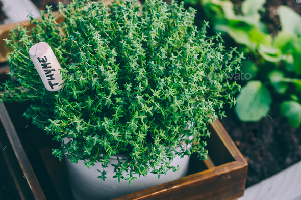 Thyme. Thyme plant in a pot. Thyme herb growing in garden. - Stock Photo - Images