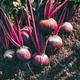 Fresh beets. Harvest fresh organic beet on the ground. - PhotoDune Item for Sale