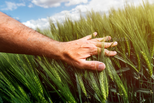 Wheat crop management, care and responsibility for cultivated crops, farmer touching cereal plant - Stock Photo - Images