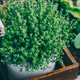 Thyme. Thyme plant in a pot. Thyme herb growing in garden. - PhotoDune Item for Sale
