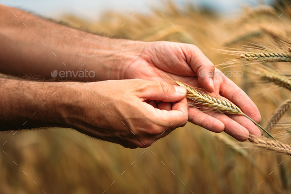 Agronomist farmer examining ripe barley crops in field - Stock Photo - Images