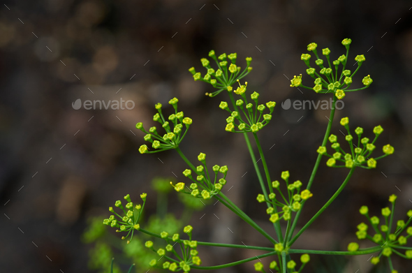 The tiny dill flower - Stock Photo - Images