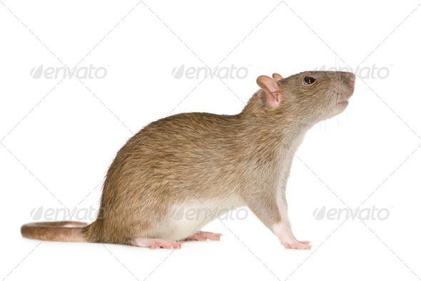 Rat (6 months) - Stock Photo - Images