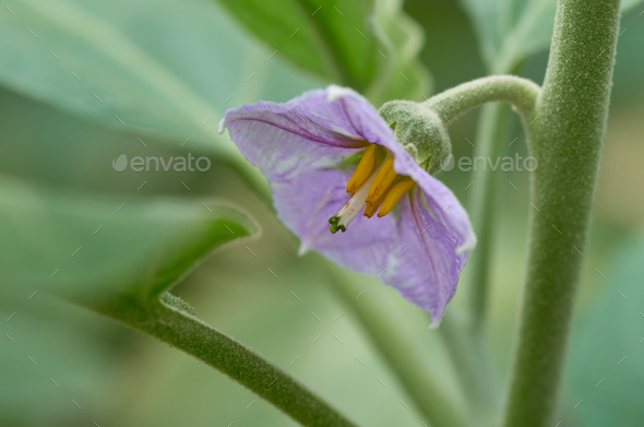 Purple eggplant flower - Stock Photo - Images