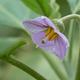 Purple eggplant flower - PhotoDune Item for Sale