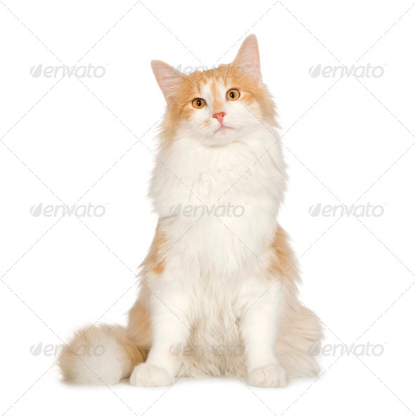 Norwegian Forest Cat (7 months) - Stock Photo - Images