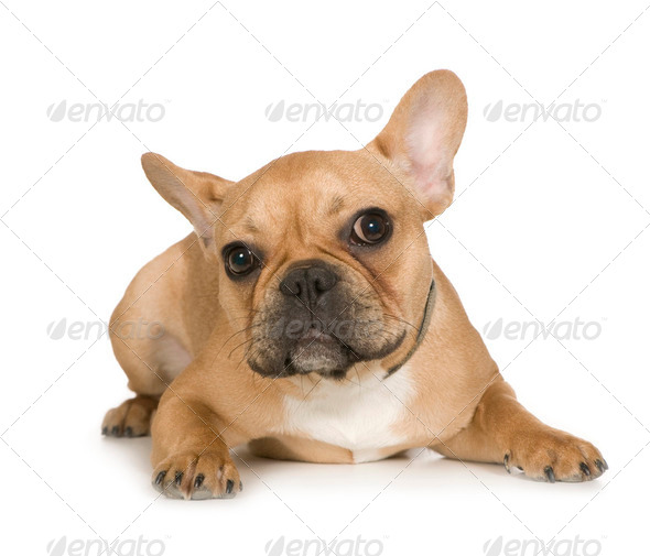 French Bulldog (7 months) - Stock Photo - Images