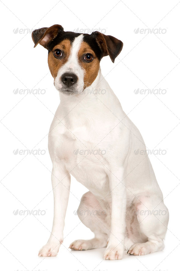 Parson Russell Terrier (2 years) - Stock Photo - Images