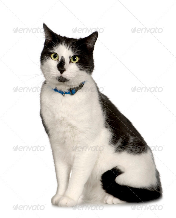 European Shorthair (3 years) - Stock Photo - Images