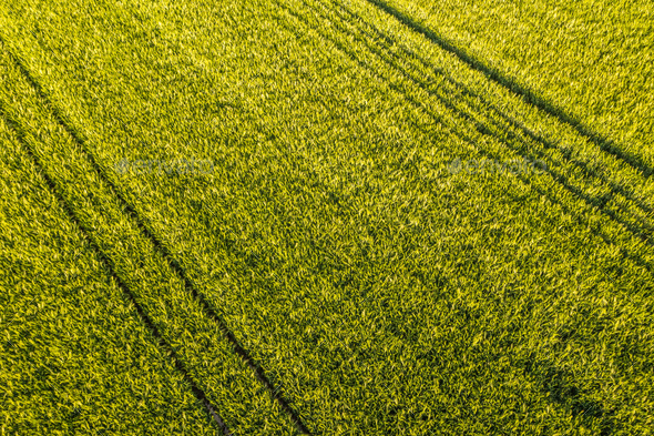 Aerial view at Green fresh young wheat close up. Young green grass in spring - Stock Photo - Images