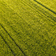 Aerial view at Green fresh young wheat close up. Young green grass in spring - PhotoDune Item for Sale