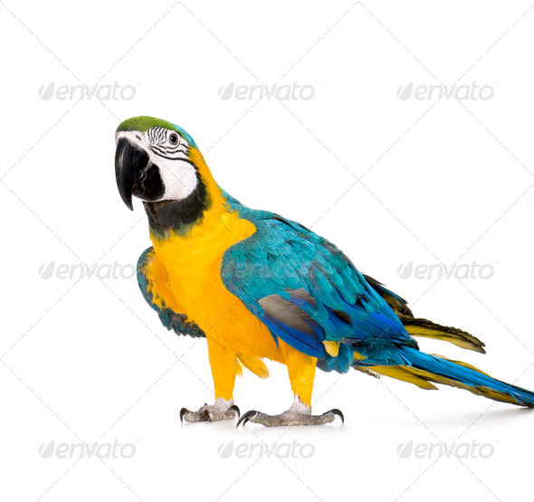 Young Blue-and-yellow Macaw - Ara ararauna (8 months) - Stock Photo - Images
