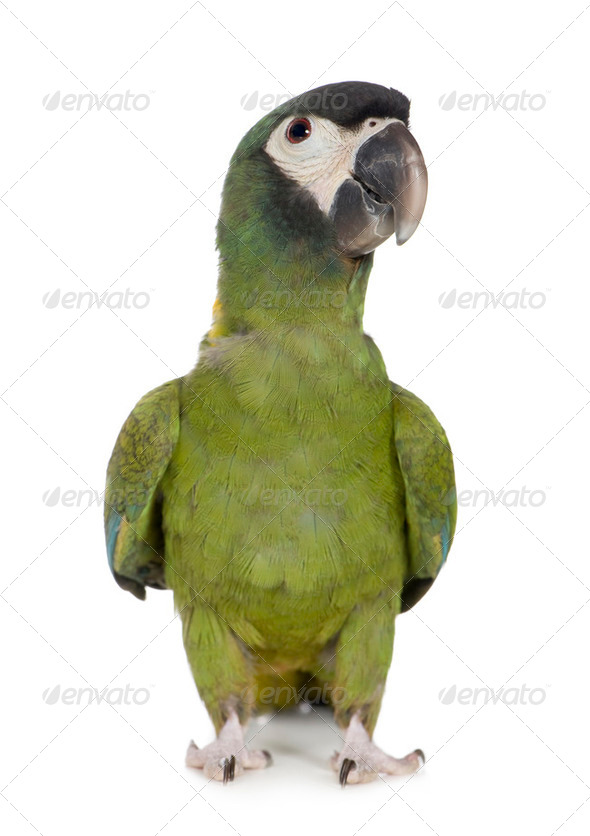 Young Yellow collared Macaw - Primolius auricollis - Stock Photo - Images