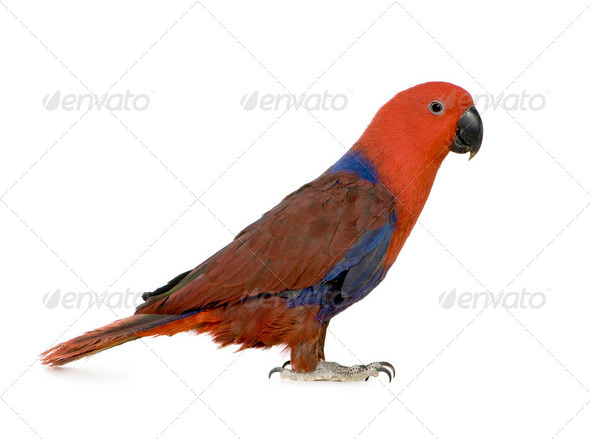 Eclectus Parrot - Eclectus roratus  (1 years) - Stock Photo - Images