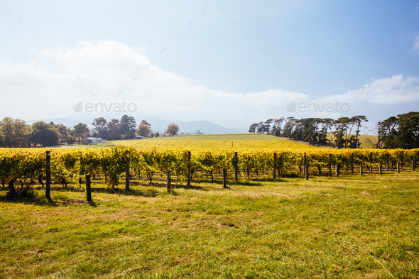 Seville East Vineyard in Australia - Stock Photo - Images