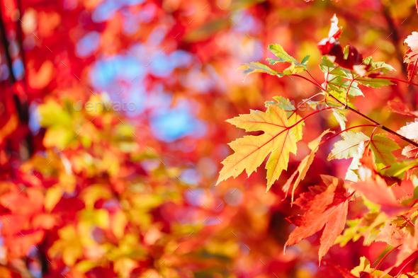 Autumn Leaves in Warburton Australia - Stock Photo - Images