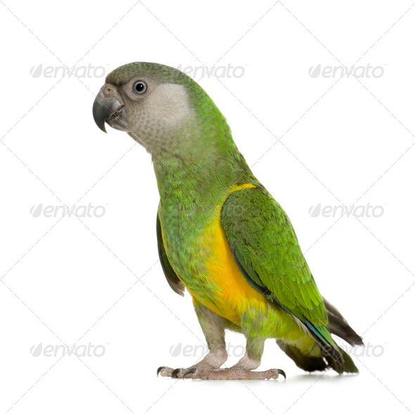 Senegal Parrot - Poicephalus senegalus - Stock Photo - Images