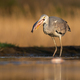 Sunlit grey heron holding a fish in a beak ready to eat it in a pond - PhotoDune Item for Sale