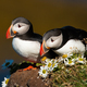 Couple of atlantic puffins sitting on a cliff with blooming flowers - PhotoDune Item for Sale