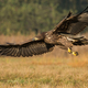 Young white-tailed eagle flying low above a meadow in autumn nature - PhotoDune Item for Sale
