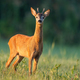Roe deer buck sniffing with nose high at sunrise with green blurred background - PhotoDune Item for Sale
