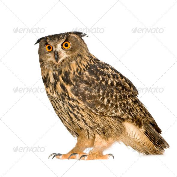 Eurasian Eagle Owl - Bubo bubo (22 months) - Stock Photo - Images