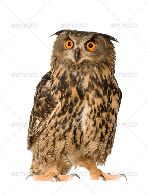 Eurasian Eagle Owl - Bubo bubo (22 months) - Stock Photo - Images