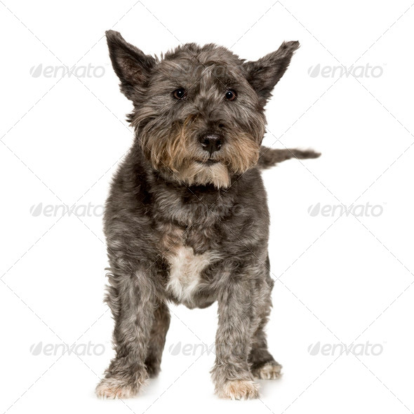 West Highland Terrier - Stock Photo - Images