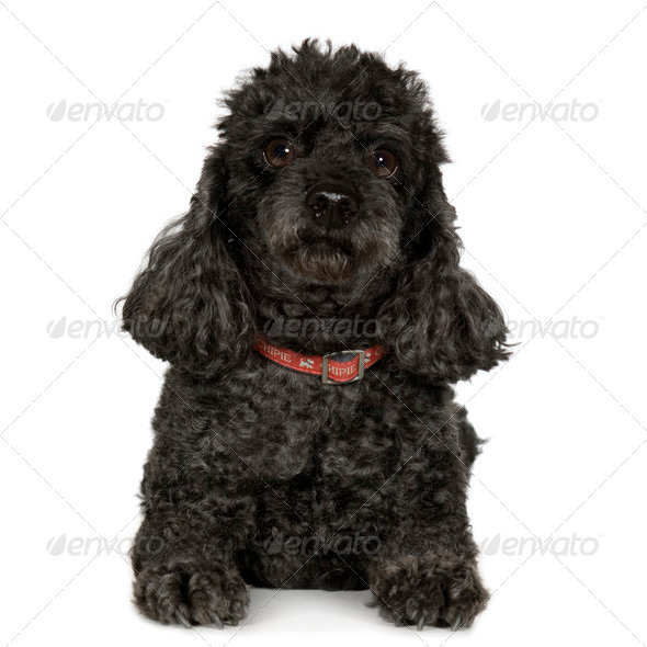 Poodle (7 years) - Stock Photo - Images