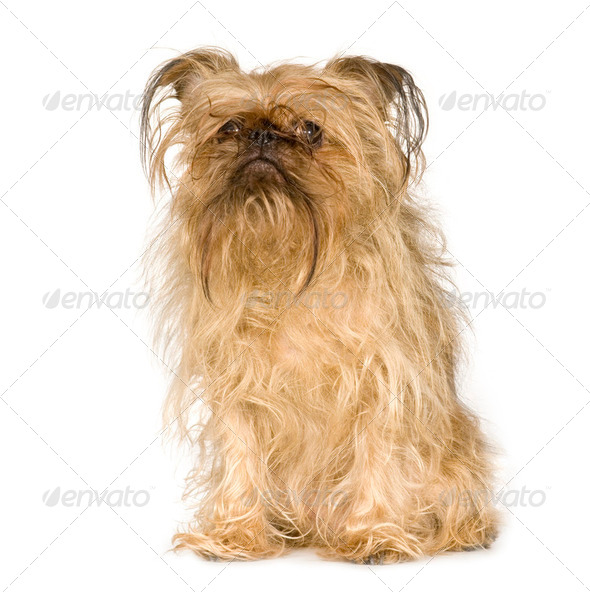 Griffon Bruxellois (10 years) - Stock Photo - Images