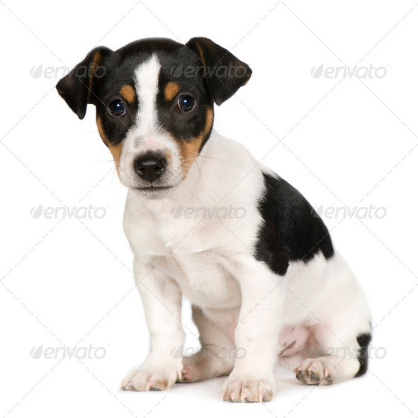 Jack russell (2 months) - Stock Photo - Images