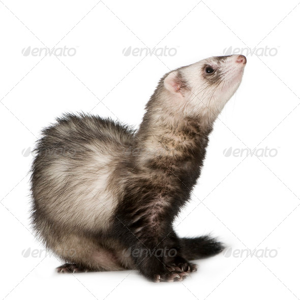 Ferret (2 years) - Stock Photo - Images