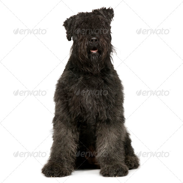 Bouvier des Flandres (2 years) - Stock Photo - Images