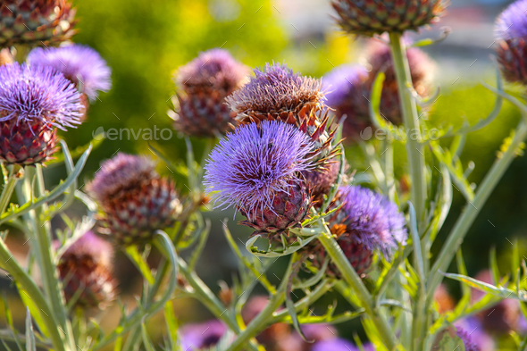 Violet milk thistle flowers. - Stock Photo - Images