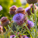 Violet milk thistle flowers. - PhotoDune Item for Sale