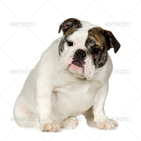 English Bulldog (15 months) - Stock Photo - Images