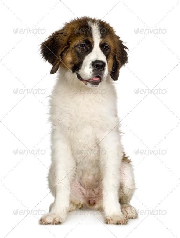 Saint Bernard puppy (7 months) - Stock Photo - Images