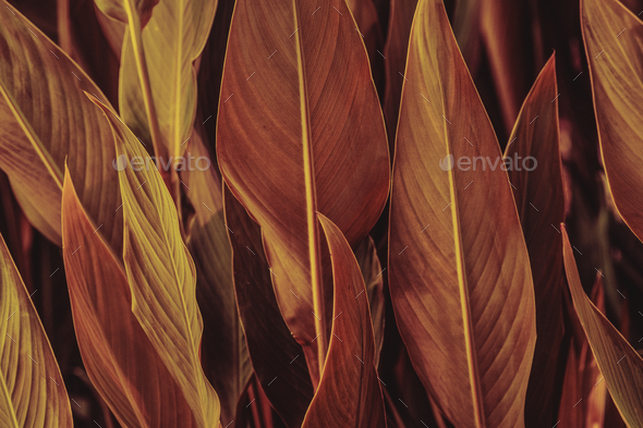 Close up of Cigar flower leaves - Stock Photo - Images