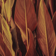 Close up of Cigar flower leaves - PhotoDune Item for Sale