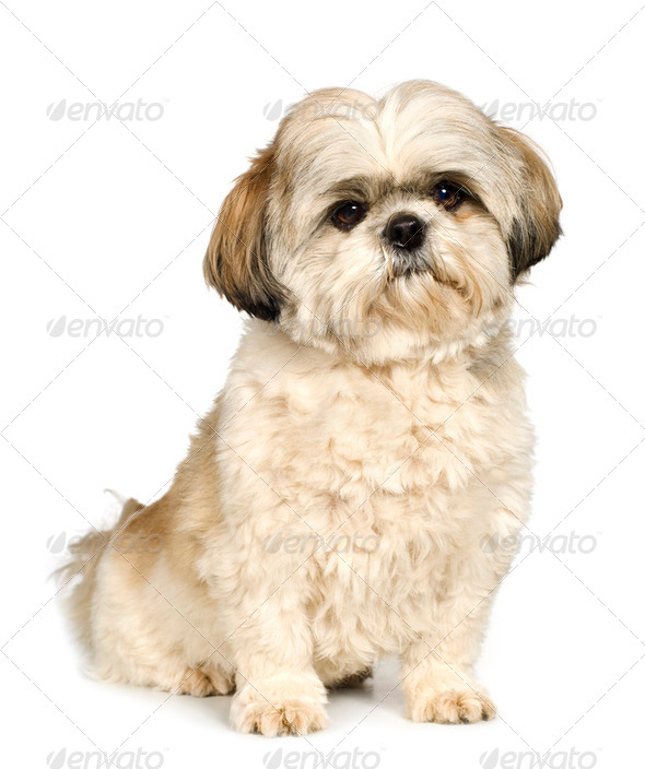 Shih Tzu (5 years) - Stock Photo - Images