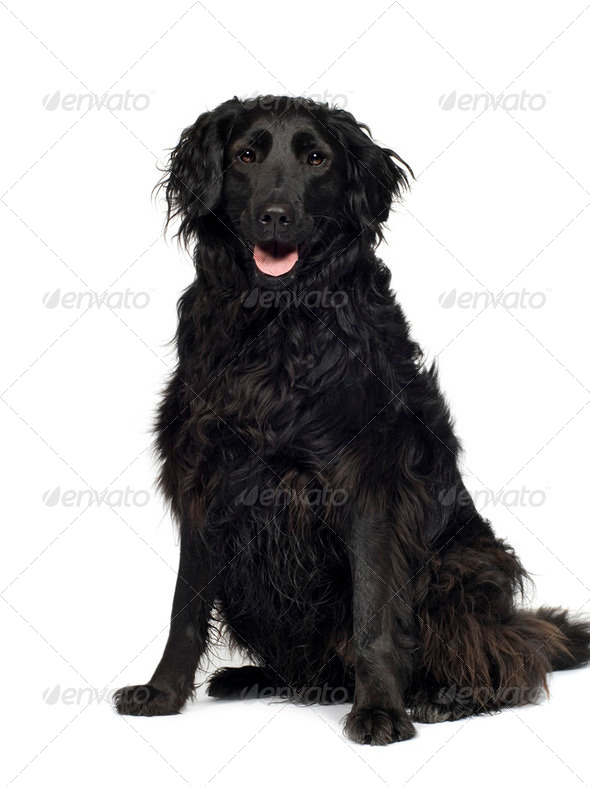 Crossbreed Labrador (3 years) - Stock Photo - Images