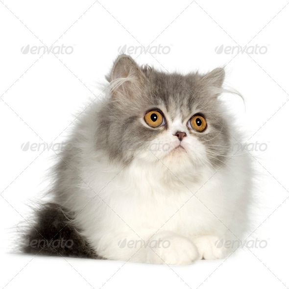 Young persian cat (6 months) - Stock Photo - Images