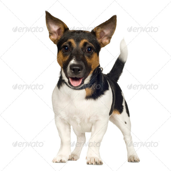 Jack russell (6 months) - Stock Photo - Images