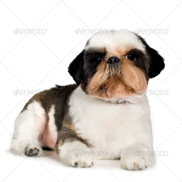 Shih Tzu - Stock Photo - Images