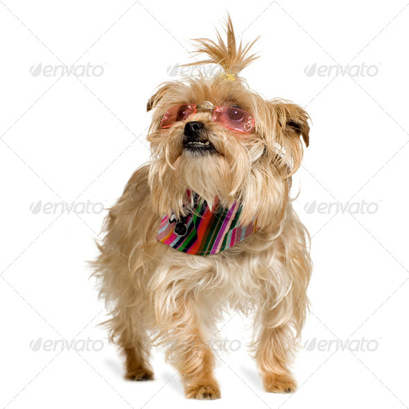 Yorkshire Terrier (4 years) - Stock Photo - Images