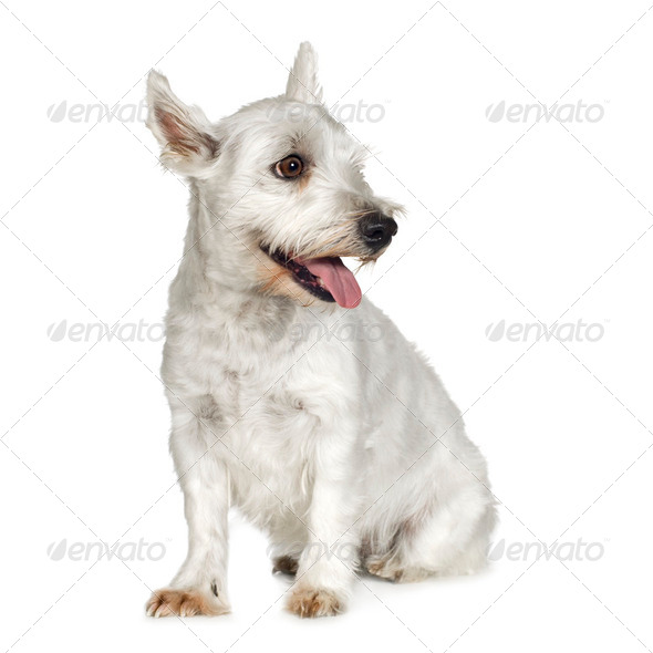 West Highland White Terrier (4 years) - Stock Photo - Images