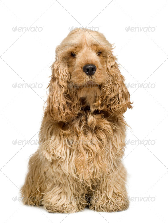 Cocker Spaniel (2 years) - Stock Photo - Images