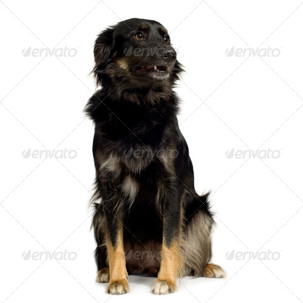 Border Collie (3 years) - Stock Photo - Images